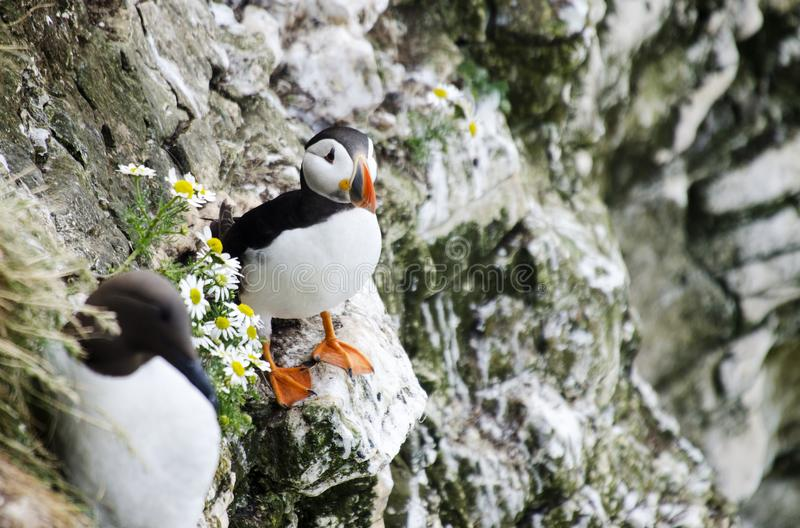 Small Puffin on a Cliff Edges. Single Puffins sitting in the grass on a cliff edge stock image