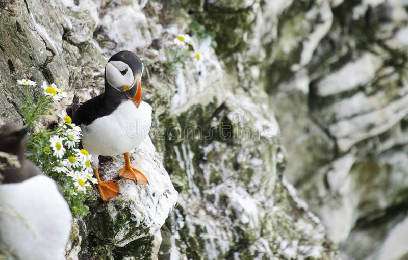 Small Puffin on a Cliff Edges. Single Puffins sitting in the grass on a cliff edge stock photography