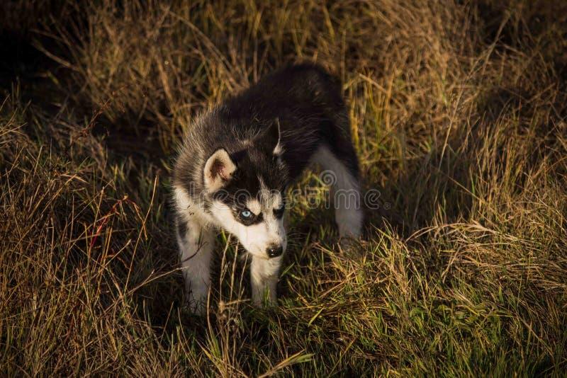 Siberian husky. Small puppies breed Siberian husky stock photo