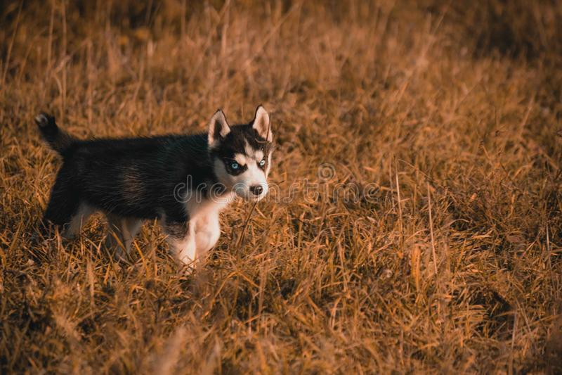 Siberian husky. Small puppies breed Siberian husky stock images