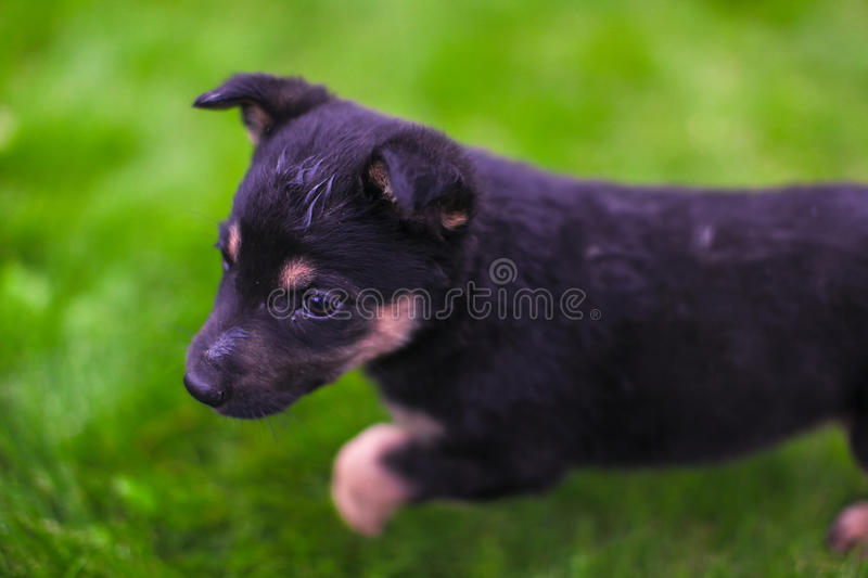 Small puppy mongrel on background of green grass. Small puppy mongrel on background of grass royalty free stock image