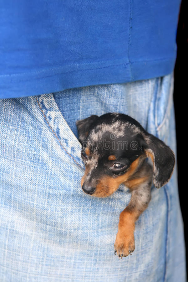 Small puppy in trouser pocket stock photo