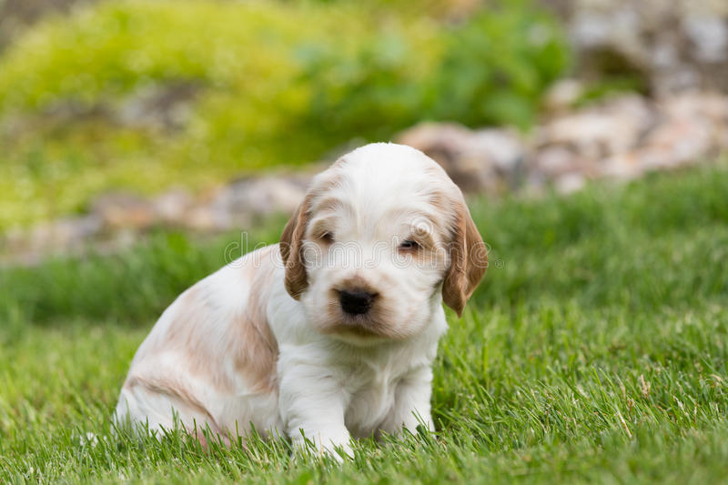 Small purebred English Cocker Spaniel puppy royalty free stock images
