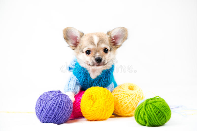 Small purebred puppy royalty free stock photo