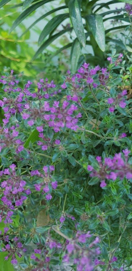 Small purple beauties. Vine, flower royalty free stock image