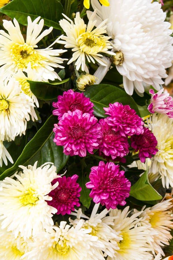 Small purple chrysanthemums. Beautiful small purple chrysanthemums with white and yellow stock images