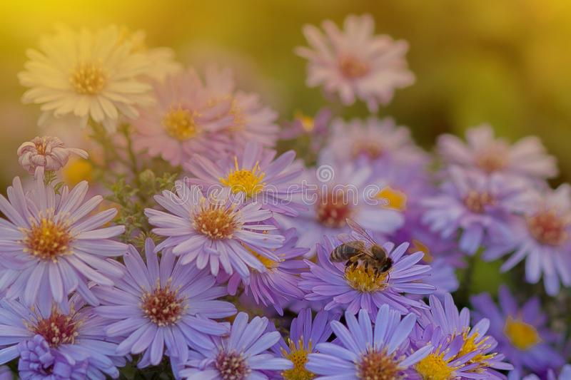 Small purple daisies - Erigeron. Garden flowers natural summer background. On a flower the bee collects the nectar royalty free stock photo