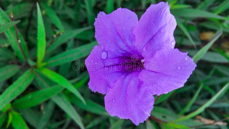 A small purple flower with blurry background. A  purple flower. a  purple flower, violet stock images