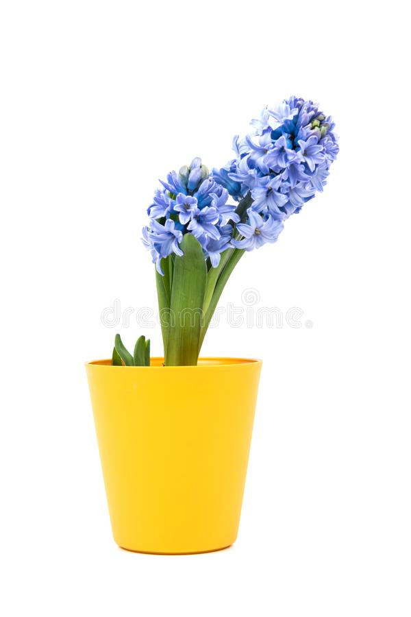 Small purple flower in yellow pot, bucket isolated on white background. Home decoration. Yellow flowerpot royalty free stock photography