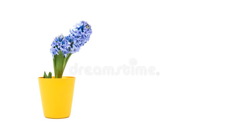 Small purple flower in yellow pot, bucket isolated on white background. Home decoration. Yellow flowerpot royalty free stock images