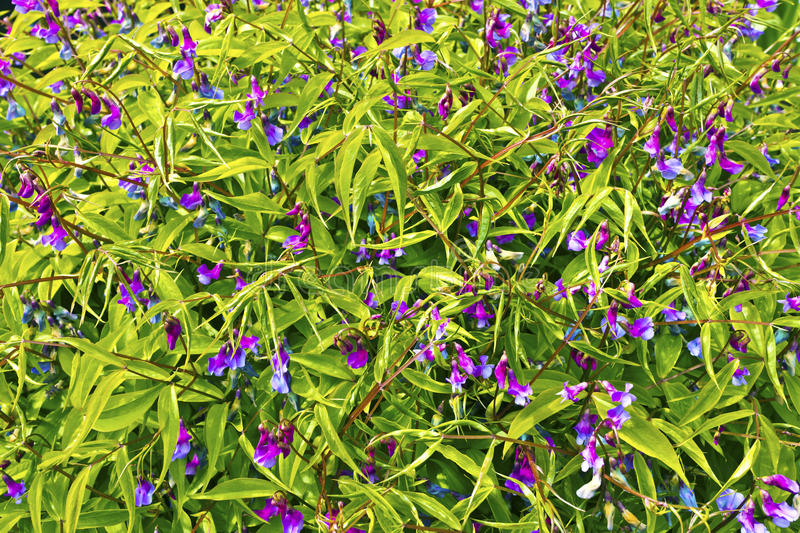 Small purple flowering plant close up stock image image of download small purple flowering plant close up stock image image of beautiful mightylinksfo