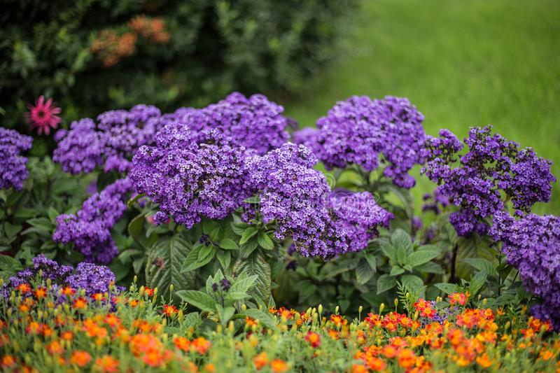 Small purple flowers on flower bed stock image