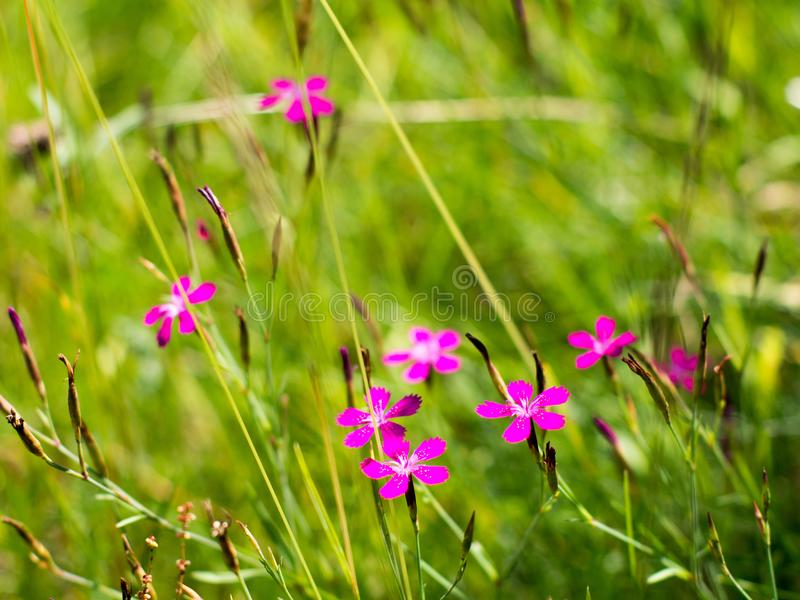 Small fillet flowers among green grasses. Small purple flowers among green grasses royalty free stock image