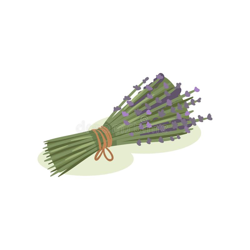 Flowers of lavender. Bundle of medical plants tied with rope. Aromatic herb. Alternative medicine theme. Flat vector. Small purple flowers of lavender. Bundle of stock illustration