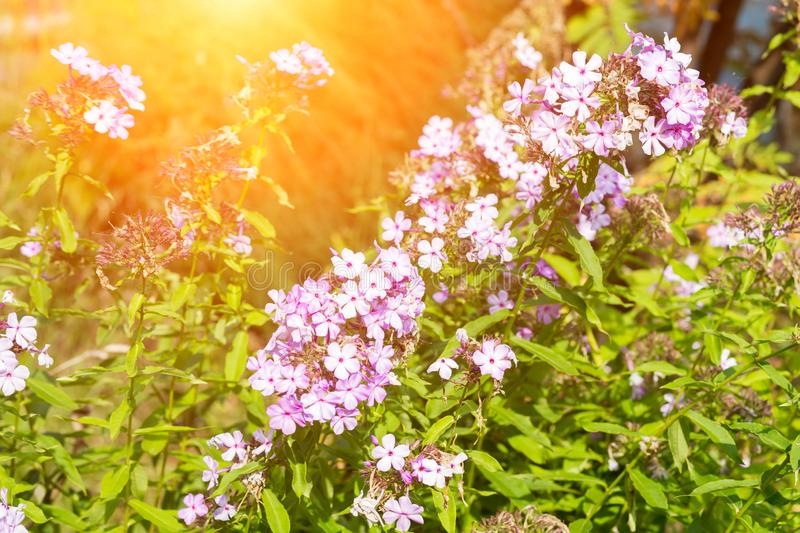 Small purple flowers. In the garden, closeup royalty free stock image