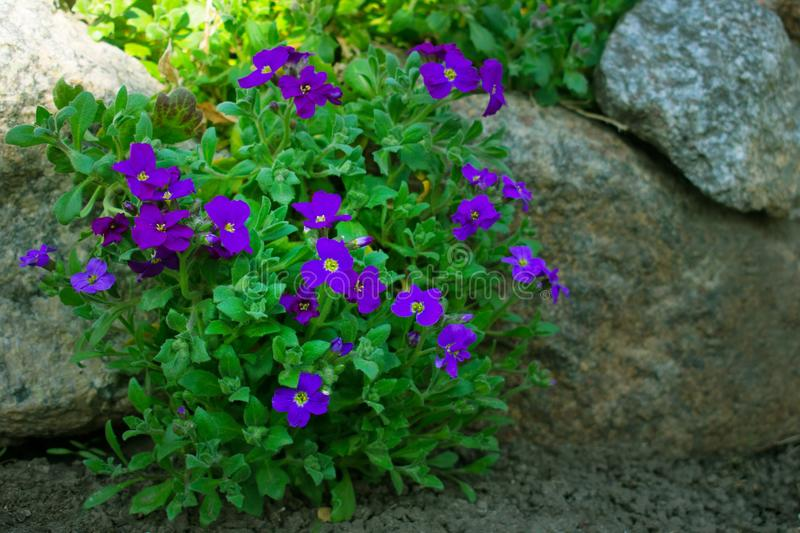 Small purple lilac  flowers growing between some rocks stock photos