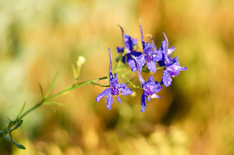 Small purple petals of the field flower stock image