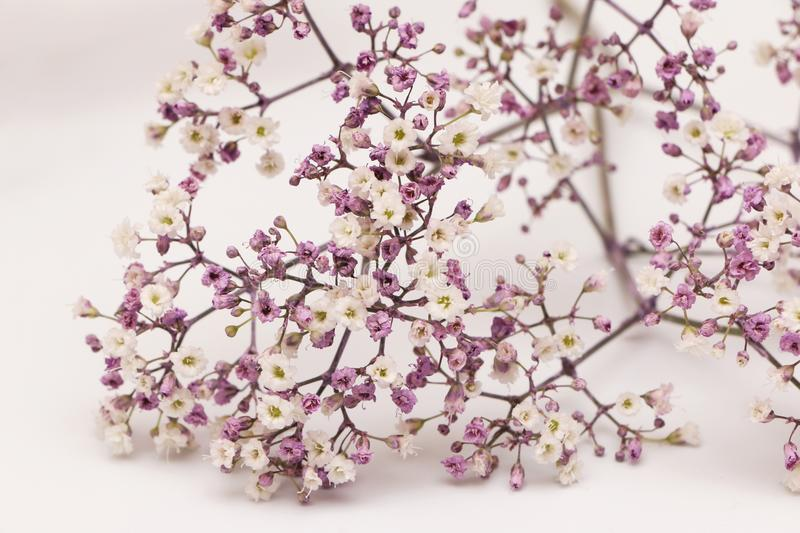 Small Purple and White Blooms. On a White Background stock photos