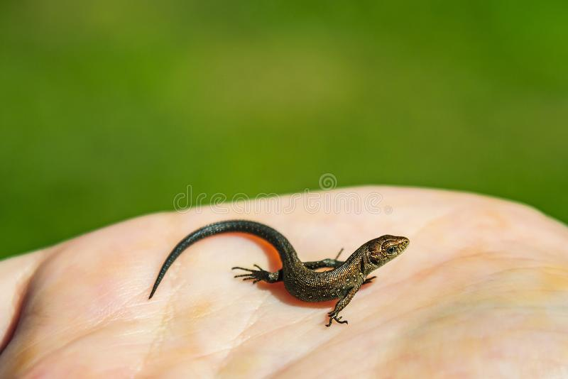 A small quick lizard sits on the palm of a child. Fragile nature. Moscow region, Russia.  stock photos