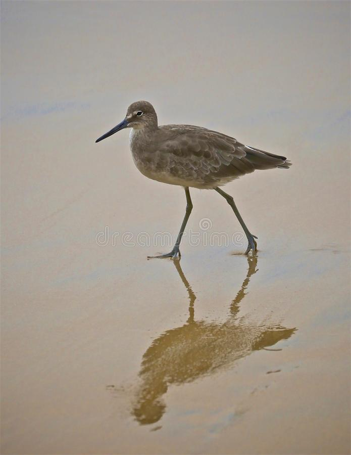 Sand piper bird. Small quick sand piper with reflection marches on beach of Crystal Cove looking for royalty free stock image