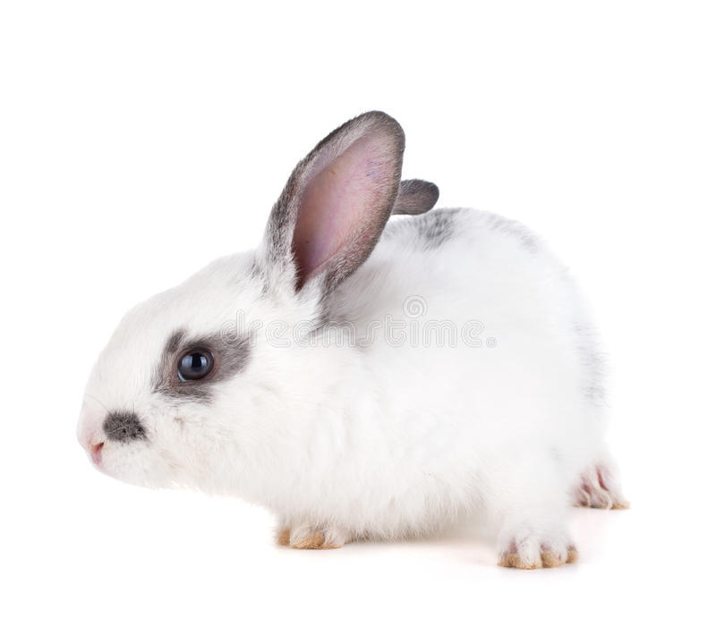Download Small rabbit stock photo. Image of isolated, furry, fluffy - 26916740