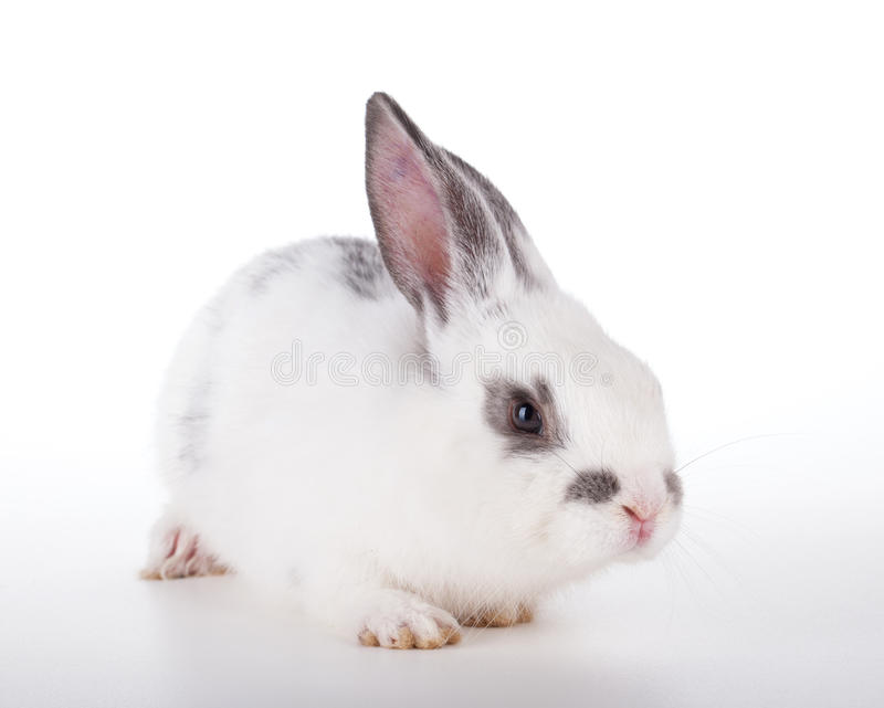 Download Small rabbit stock photo. Image of gray, single, white - 26916746