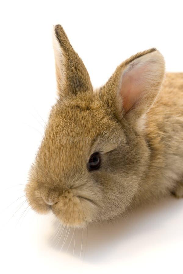 Free Small Rabbit Royalty Free Stock Photo - 8510935