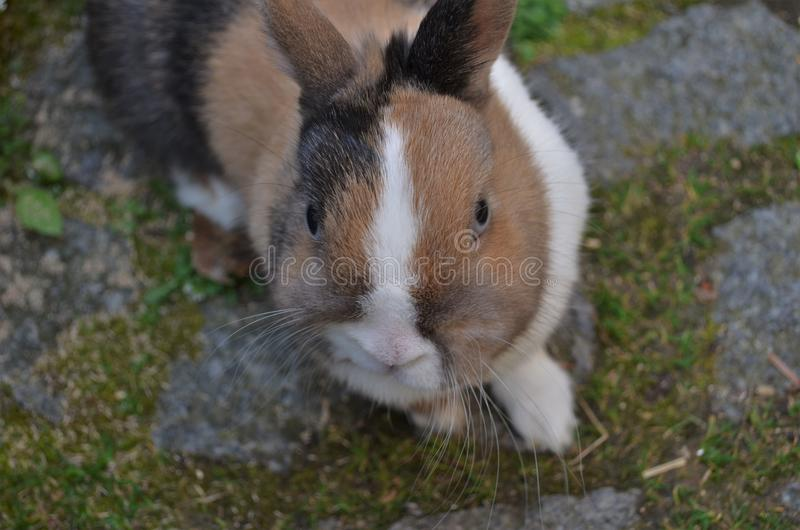 Small rabbit with colorful fur looks into the camera royalty free stock photography