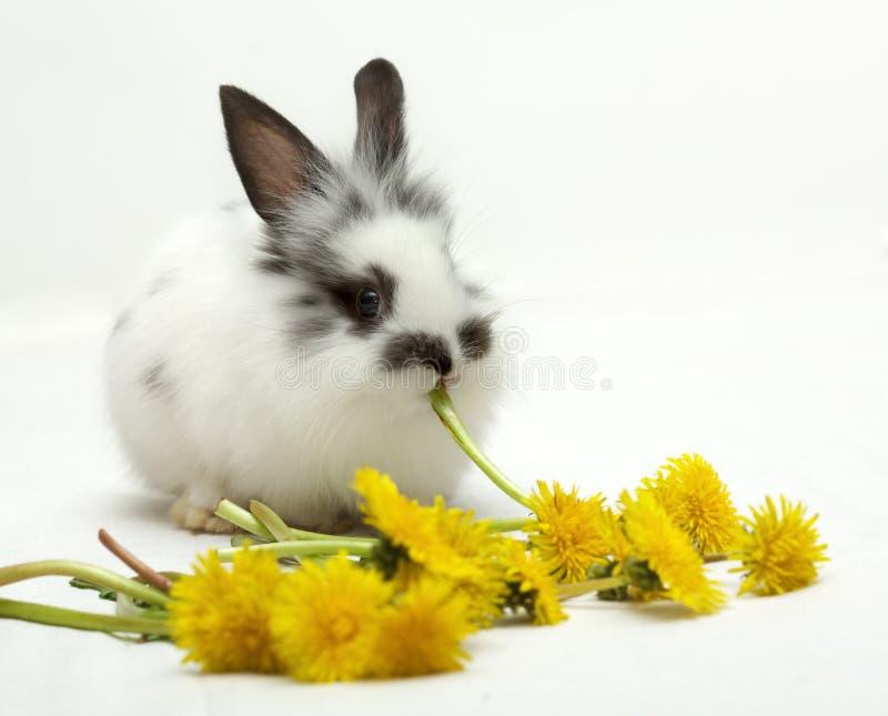 Small rabbit eats dandelions royalty free stock photos