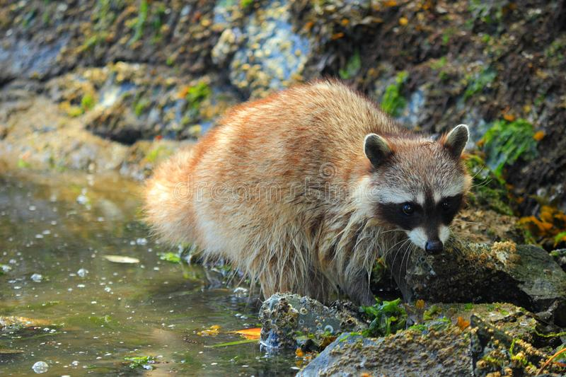Shy Raccoon at Rocky Beach at Princess Bay, Gulf Islands National Park, British Columbia royalty free stock image