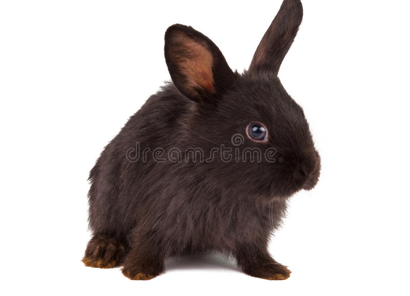 Small racy dwarf black bunny isolated. On white background. studio photo stock images