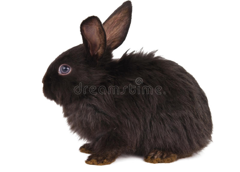Small racy dwarf black bunny isolated. On white background. studio photo stock photos