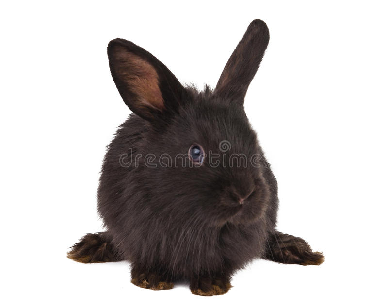 Small racy dwarf black bunny isolated. On white background. studio photo royalty free stock images