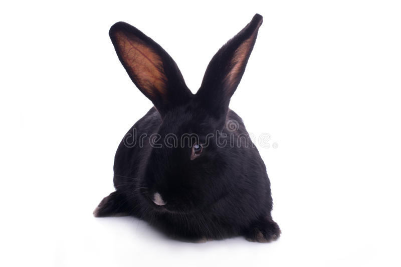 Small racy dwarf black bunny. Isolated on white background. studio photo royalty free stock photography