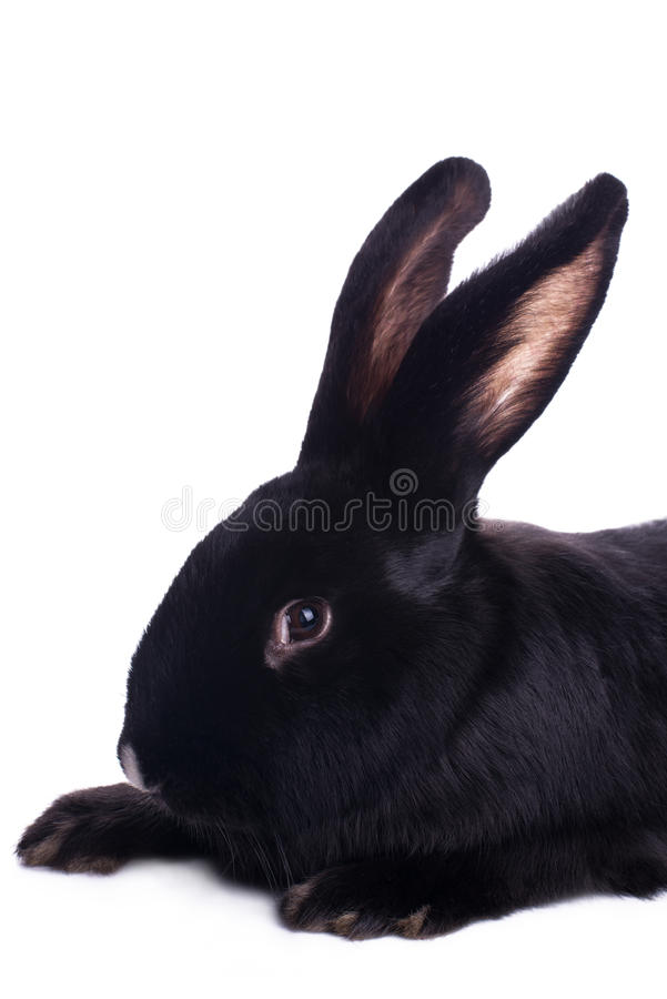Small racy dwarf black bunny. Isolated on white background. studio photo stock photo