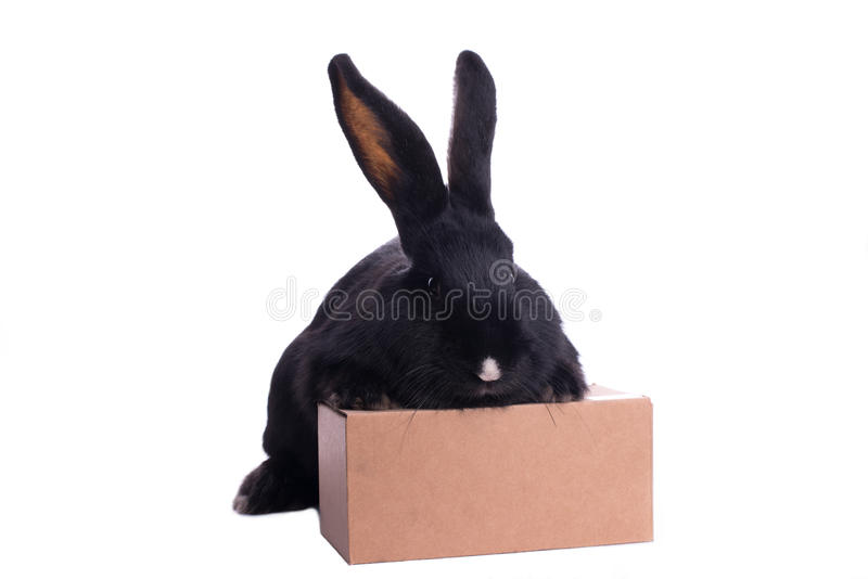 Small racy dwarf black bunny. Isolated on white background. studio photo royalty free stock images