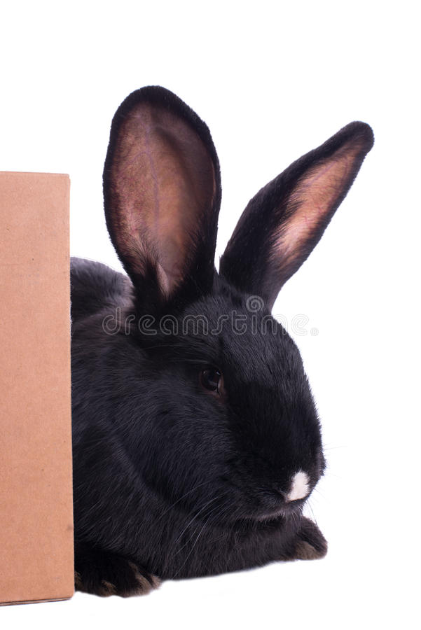 Small racy dwarf black bunny. Isolated on white background. studio photo stock images