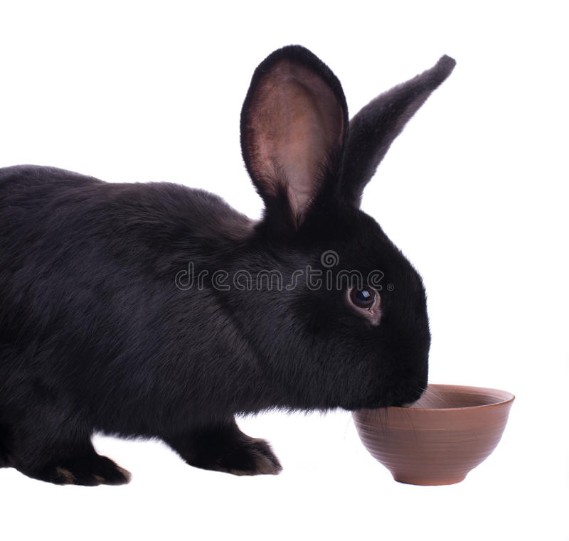 Small racy dwarf black bunny. Isolated on white background. studio photo stock photography
