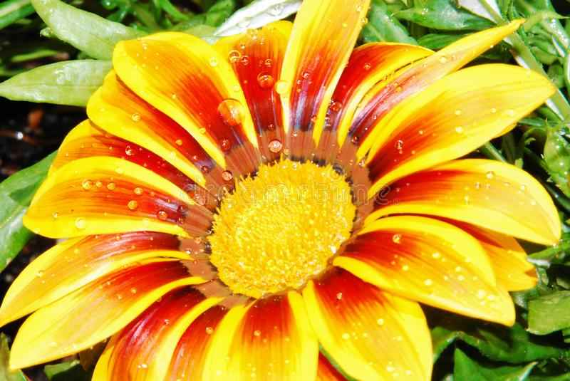 Raindrops on a flower of gazania. Small raindrops on a yellow and red gazania flower royalty free stock image