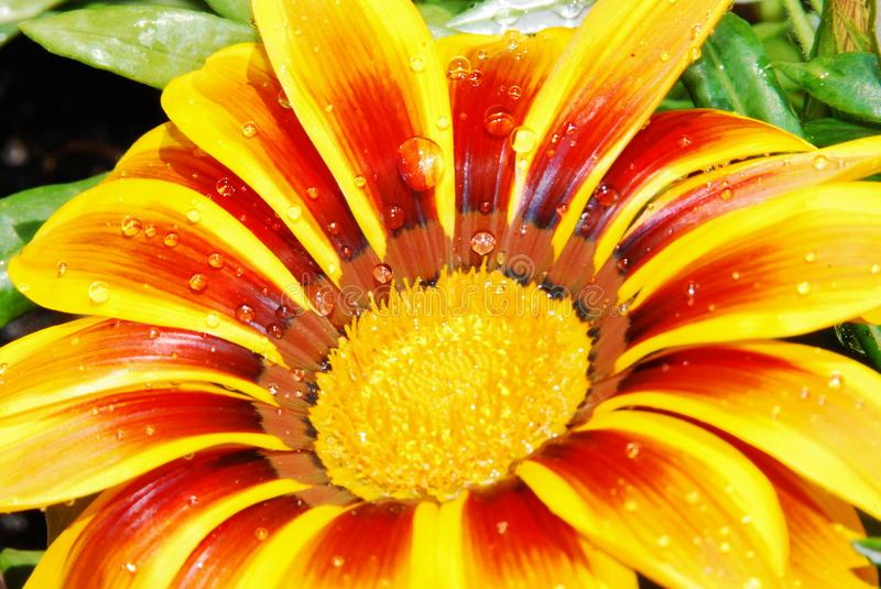 Raindrops on a flower of gazania. Small raindrops on a yellow and red gazania flower stock image