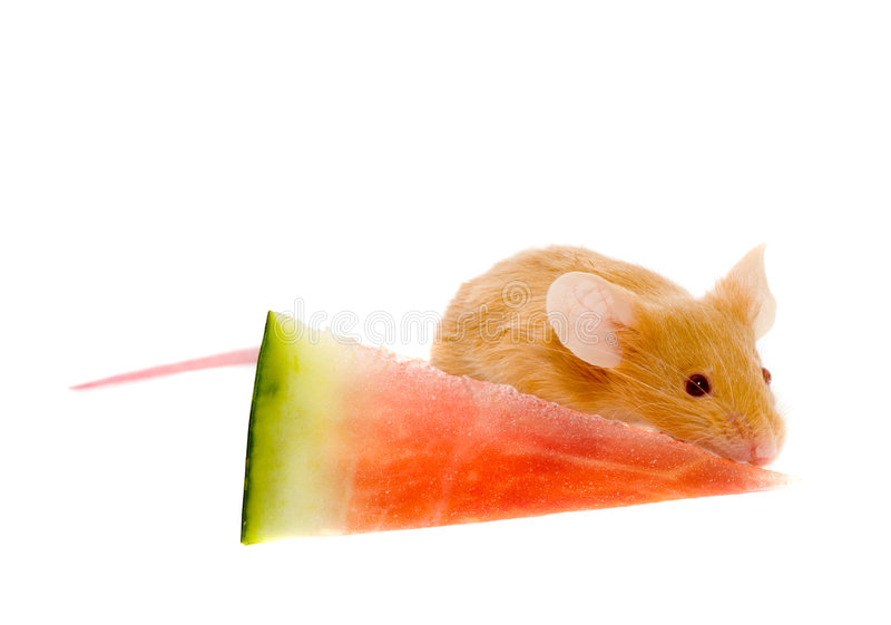 Small rat stock images