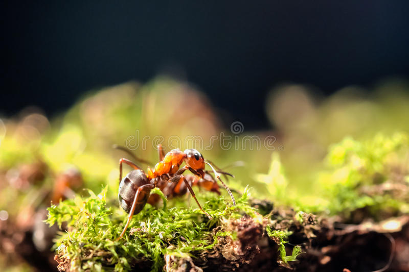 Small red ant stock photos