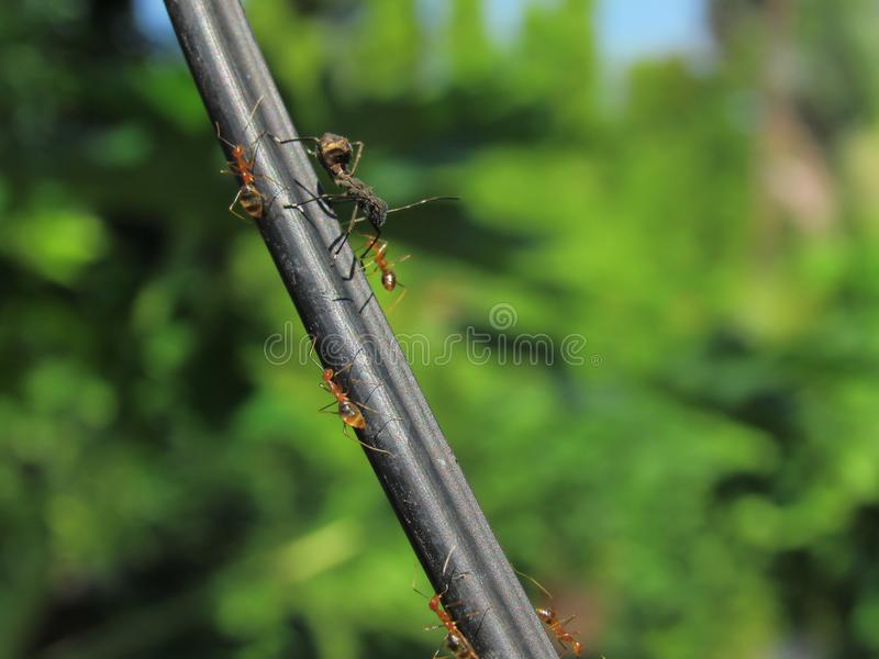 Small Red Ants And A Big Black Ant On A Wire. Small red ants giving way to a bigger black ant on an inclined telephone wire royalty free stock photography
