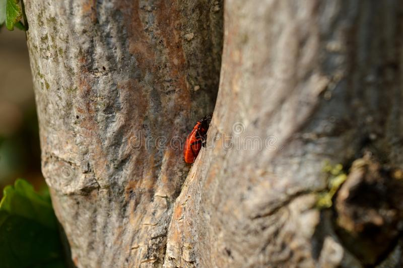 Small red beetle on a tree. A small red beetle on a tree royalty free stock photos