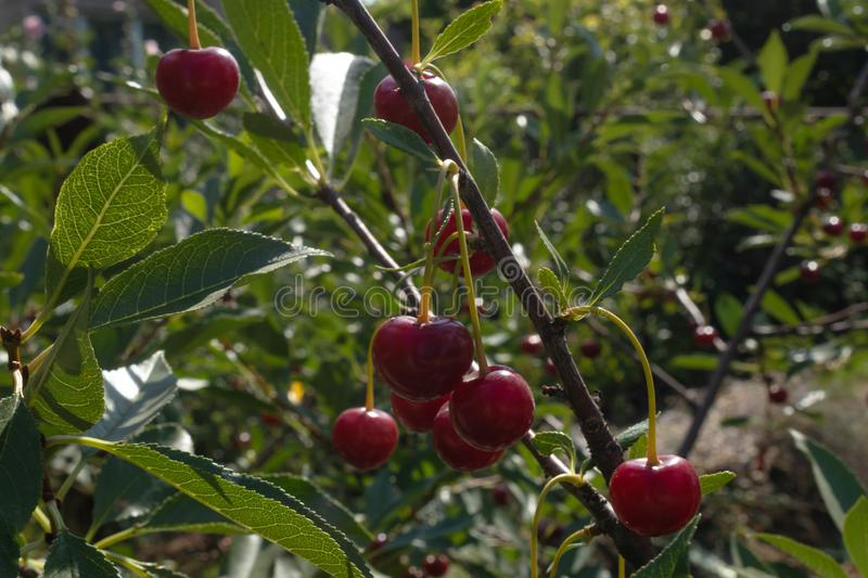 Small red berries of a cherry on a thin brown branch with green leaves in the garden in sunny weather. In the city garden a small tree grows with red berries of stock photos