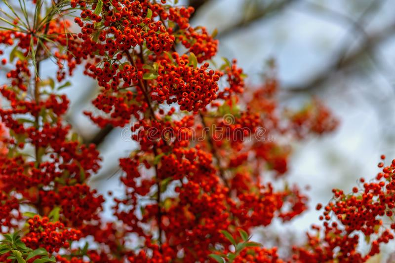 Small red berries with green leaves. Hawthorn autumn berries. Soft focus. Copy space royalty free stock photo