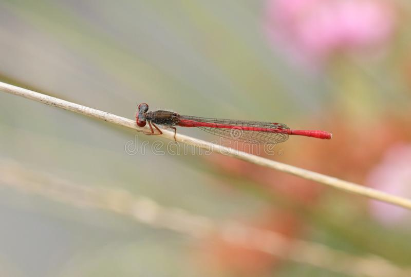 A beautiful Small Red Damselfly, Ceriagrion tenellum, perching on a grass stem at the edge of a boggy pond. A Small Red Damselfly, Ceriagrion tenellum, perching stock photography