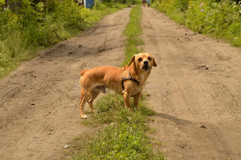 A small red dog stands on the road and looks aggressively.  royalty free stock photos