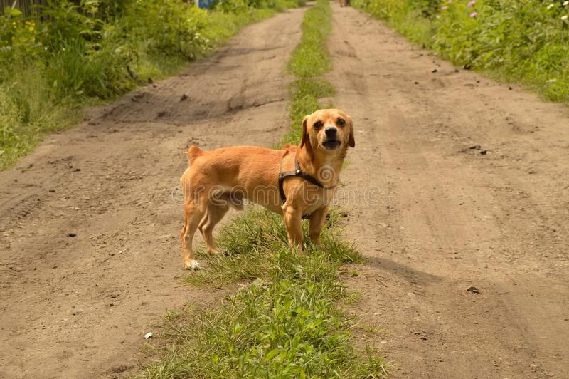 A small red dog stands on the road and looks aggressively.  stock image