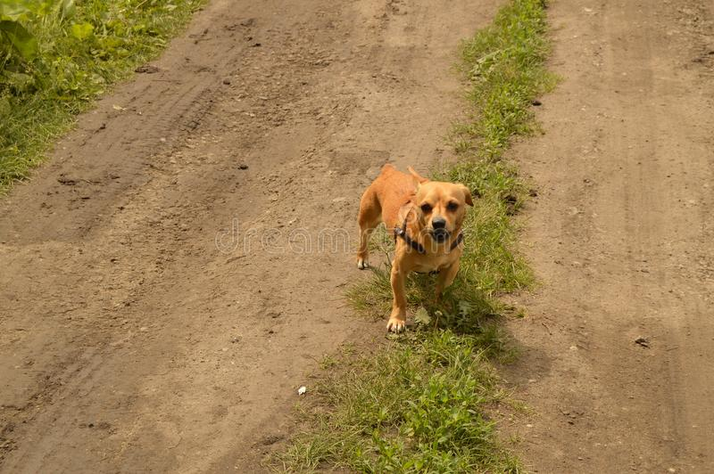 A small red dog stands on the road and looks aggressively.  stock images